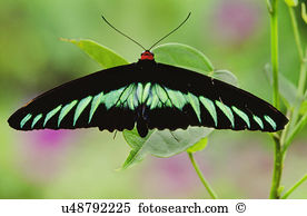 Birdwing butterfly Images and Stock Photos. 236 birdwing butterfly.