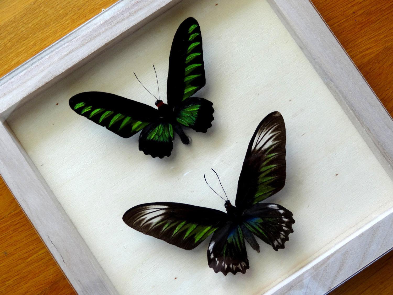 Real Ornithoptera Trogonoptera Brookiana Albescens Pair Framed by.