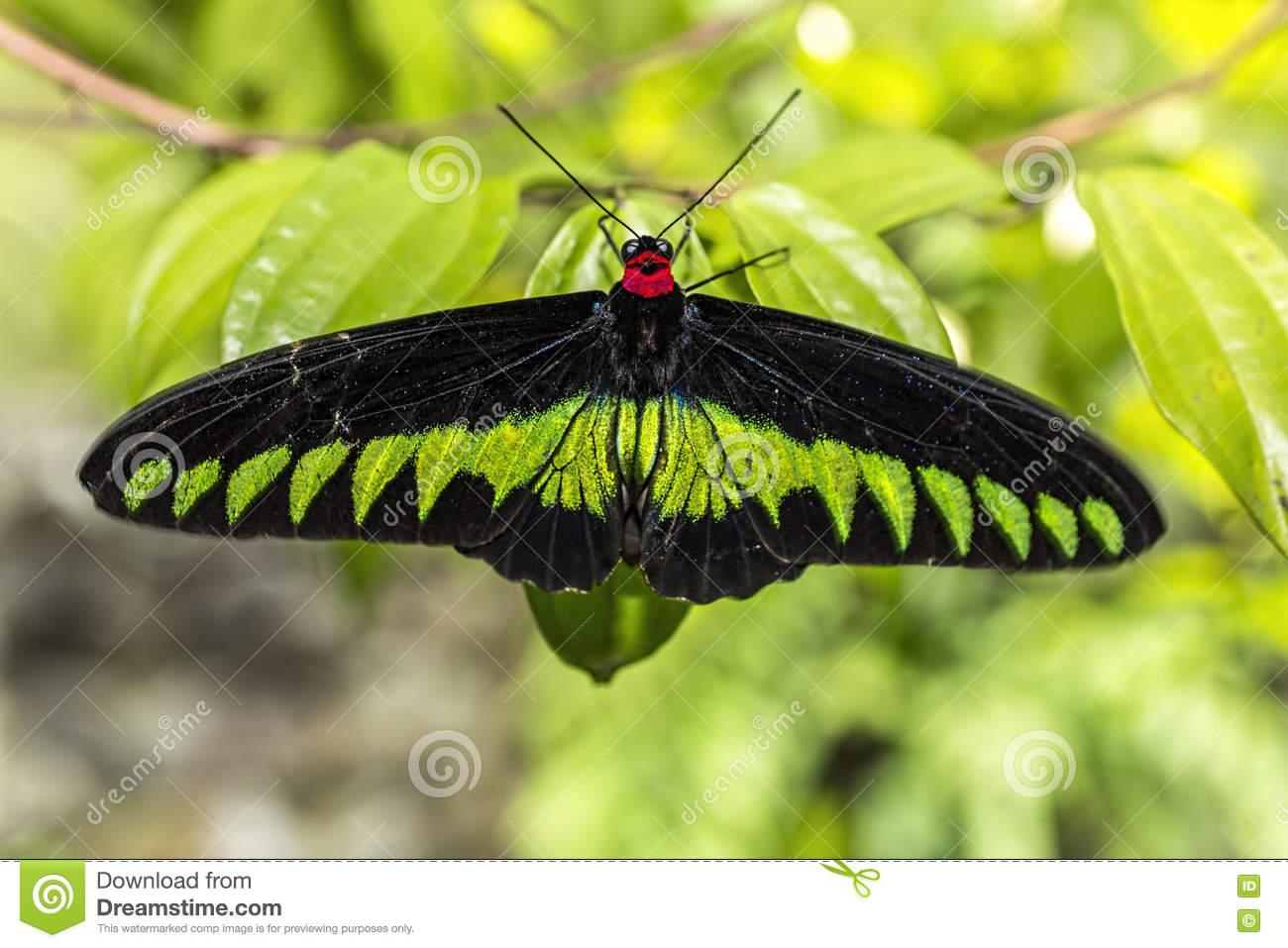Big Black And Yellow Green Butterfly Stock Photo.