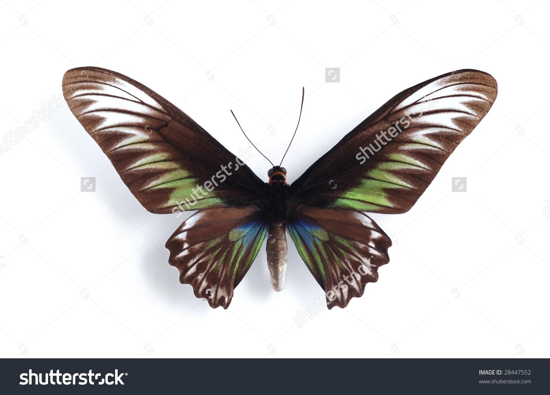 Trogonoptera Brookiana ( Female) Stock Photo 28447552 : Shutterstock.