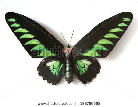 Trogonoptera Brookiana Stock Photos, Royalty.