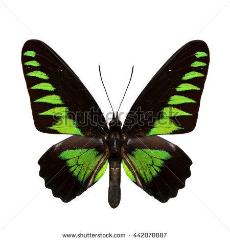 Papilio Trogonoptera Brookiana Rajah Brooke Birdwings Stock Photo.