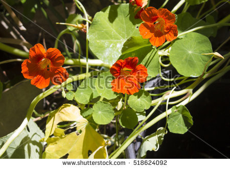 Tropaeolum Stock Images, Royalty.