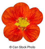 Tropaeolum Stock Illustrations. 12 Tropaeolum clip art images and.