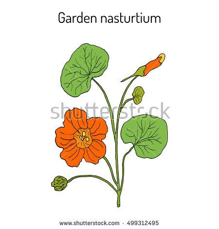 Nasturtium Plant Banco de imágenes. Fotos y vectores libres de.