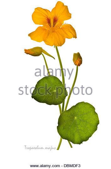 Nasturtium Tropaeolum Majus Stock Photos & Nasturtium Tropaeolum.