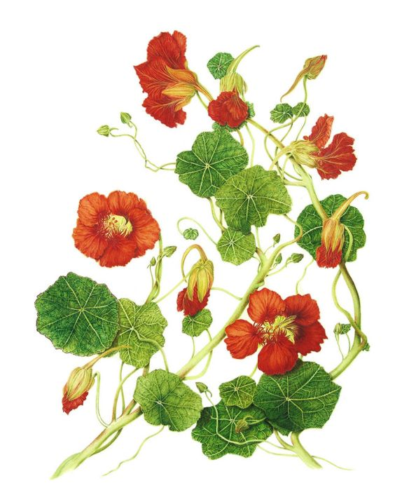 Tropaeolum majus (Nasturtium).