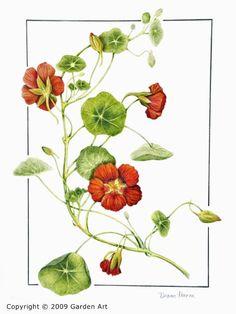 "heaveninawildflower: "" Calendula officinalis L. Deutschlands Flora."