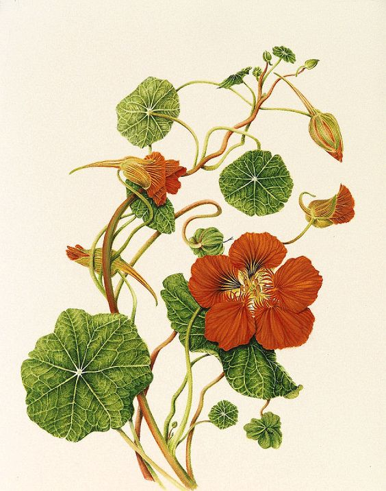 Tropaeolum majus Botanical illustrations by Milly Acharya.