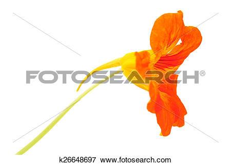 Picture of Tropaeolum majus ,garden nasturtium k26648697.