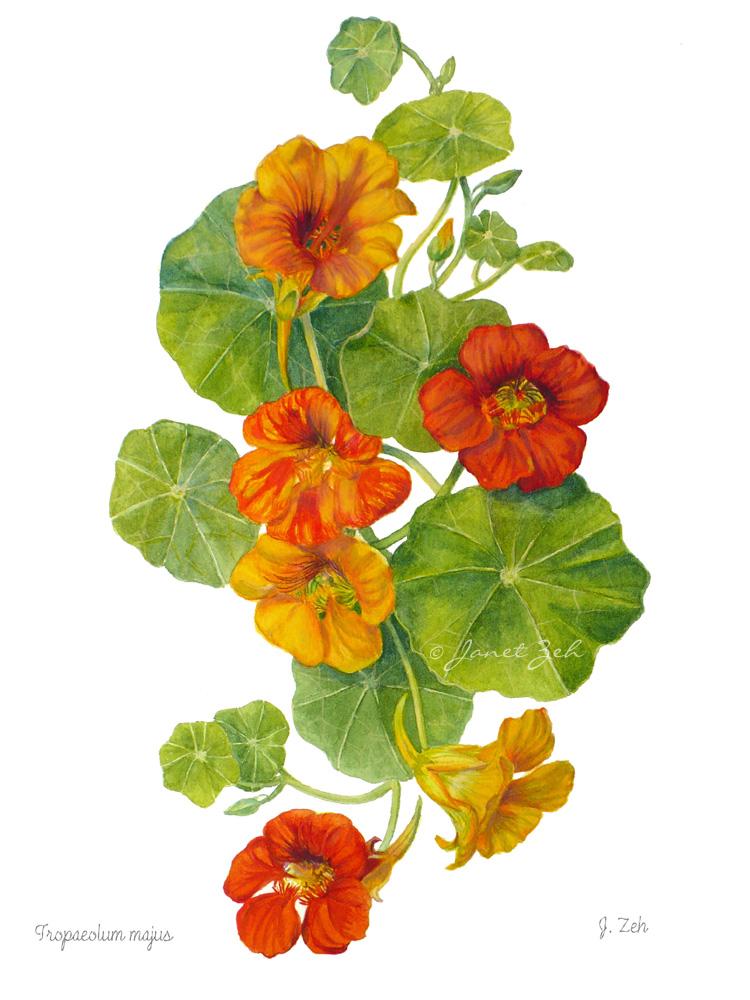 1000+ images about Botanical Art: Nasturtiums. on Pinterest.
