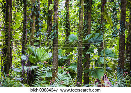 """Picture of """"Bamboo forest, Tropical Botanical Garden, Onomea Bay."""