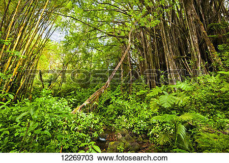 Stock Photo of A huge Banyan Tree in lush green tropical.