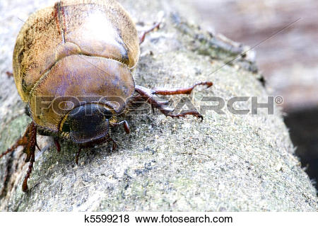 Pictures of Tropical Rainforest Beetle k5599218.