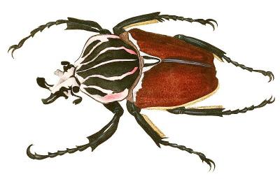 Goliath beetle.