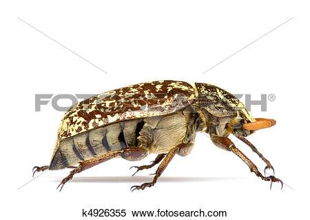 Stock Image of Tropical Rainforest Beetle k4926355.
