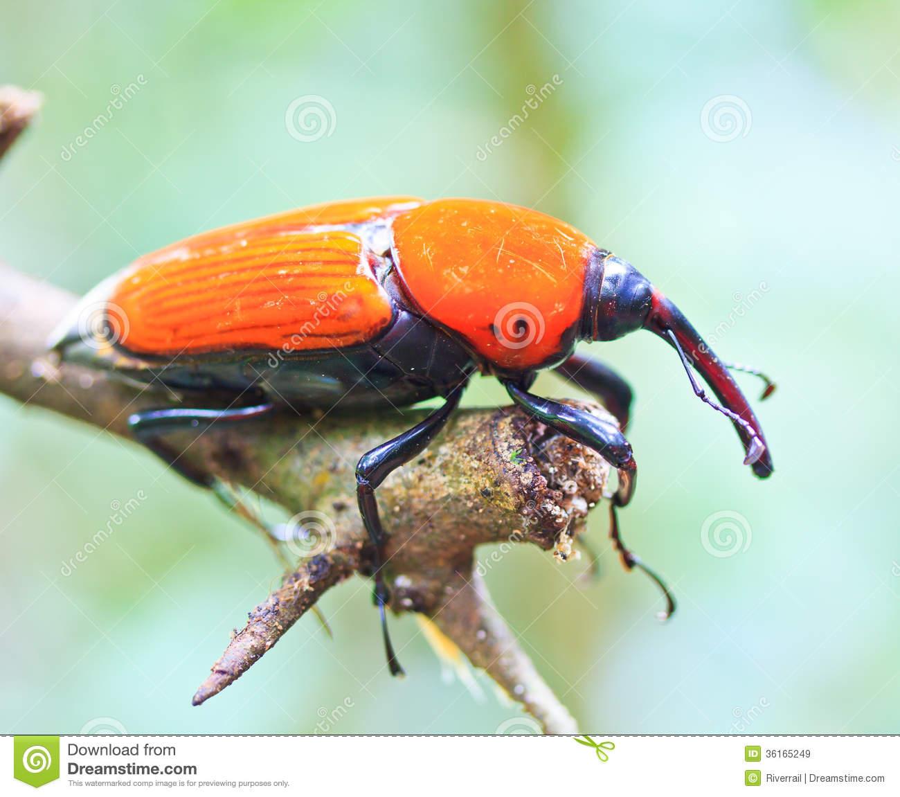 Orange Beetle Royalty Free Stock Images.