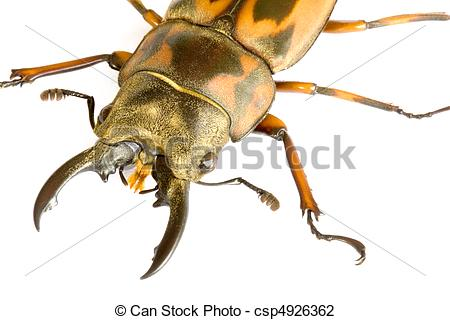 Stock Photo of Stag Beetle.