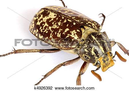 Stock Photo of Tropical Rainforest Beetle k4926392.