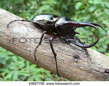 Stock Images of Tropical Rainforest Beetle k5627756.