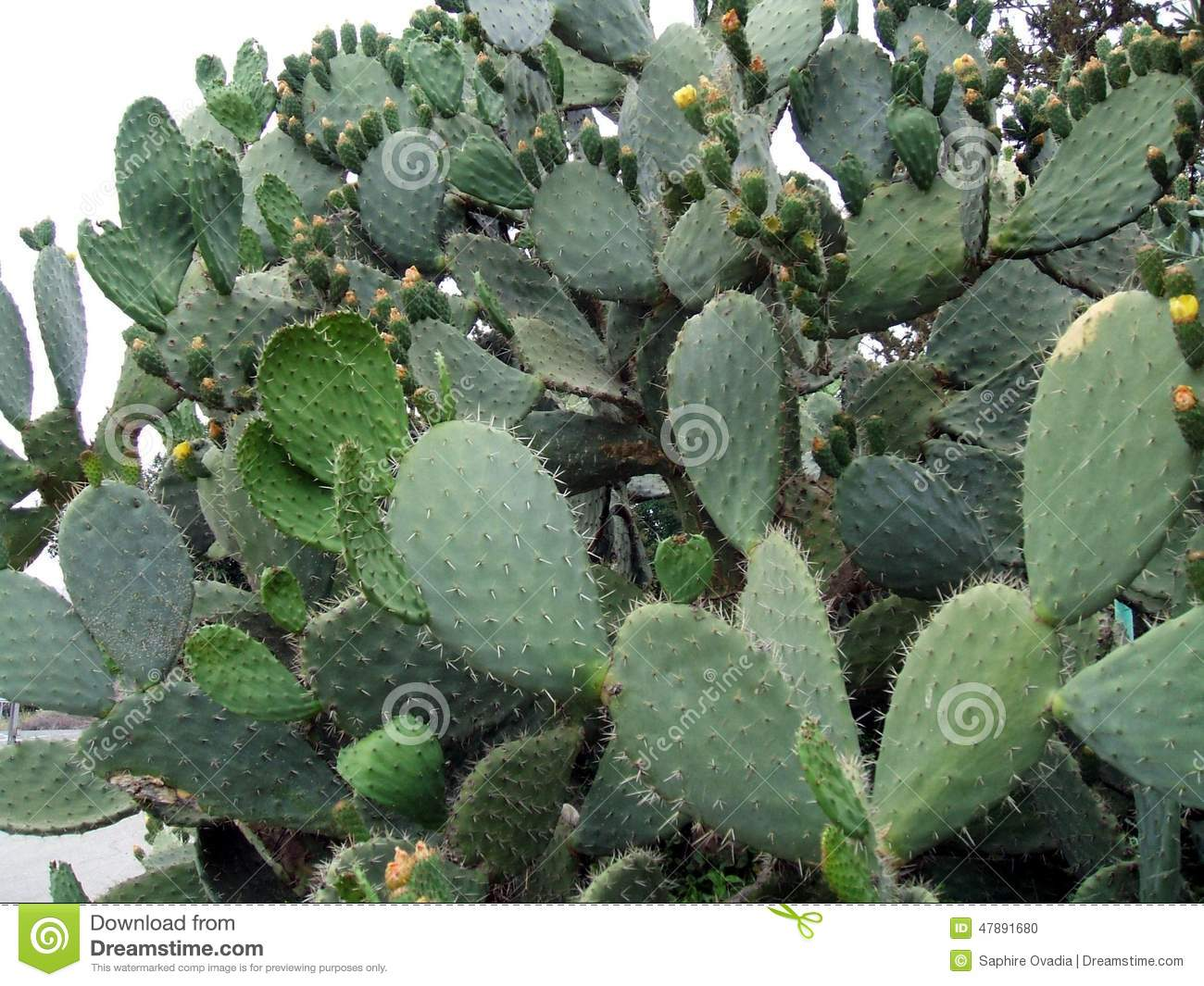 Opuntia. Prickly Pear. Cactus Fruit. Tropical Fruit Stock Photo.