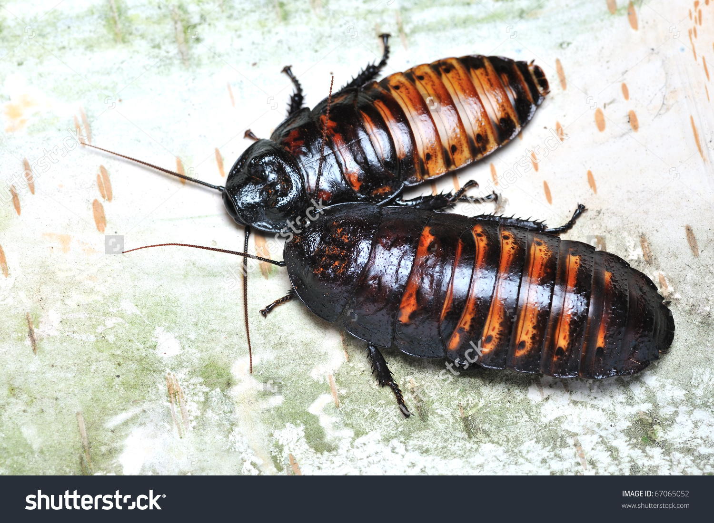 Tropical Cockroaches On Tree Bark Stock Photo 67065052.