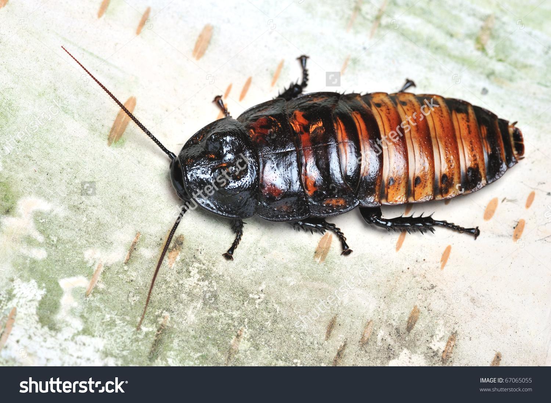 Tropical Cockroaches On Tree Bark Stock Photo 67065055.