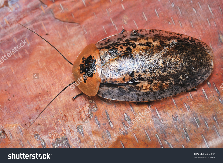 Tropical Cockroaches On Tree Bark Stock Photo 67065034.