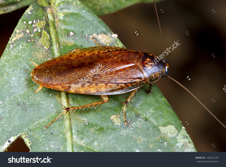 Tropical Cockroach Rainforest Understory Ecuador Stock Photo.