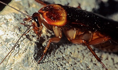 Cockroach Pictures.