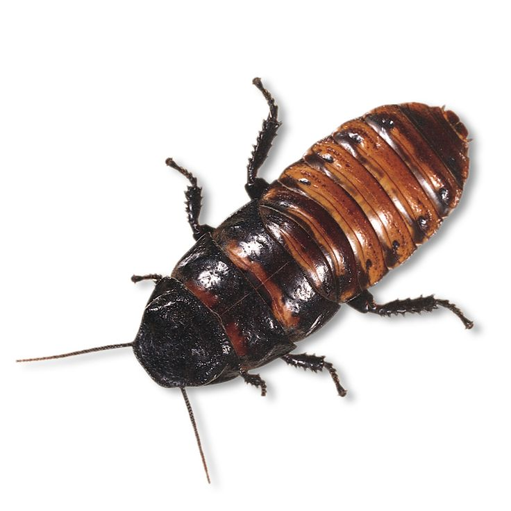 1000+ ideas about Madagascar Hissing Cockroach on Pinterest.