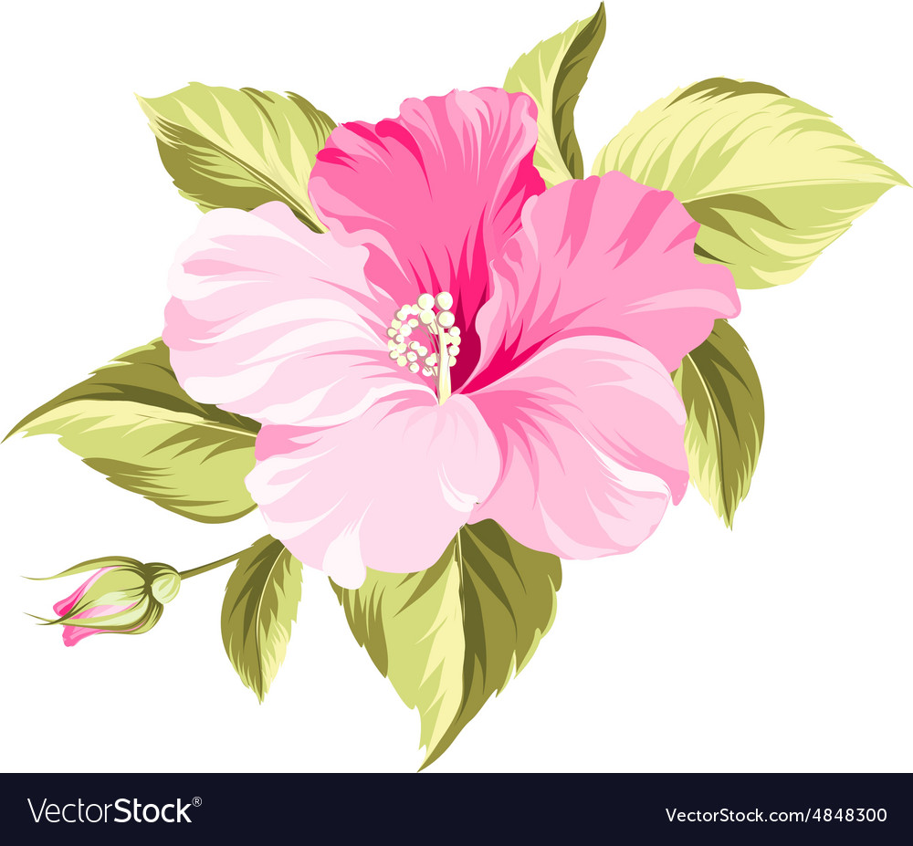 Hibiscus tropical flower.