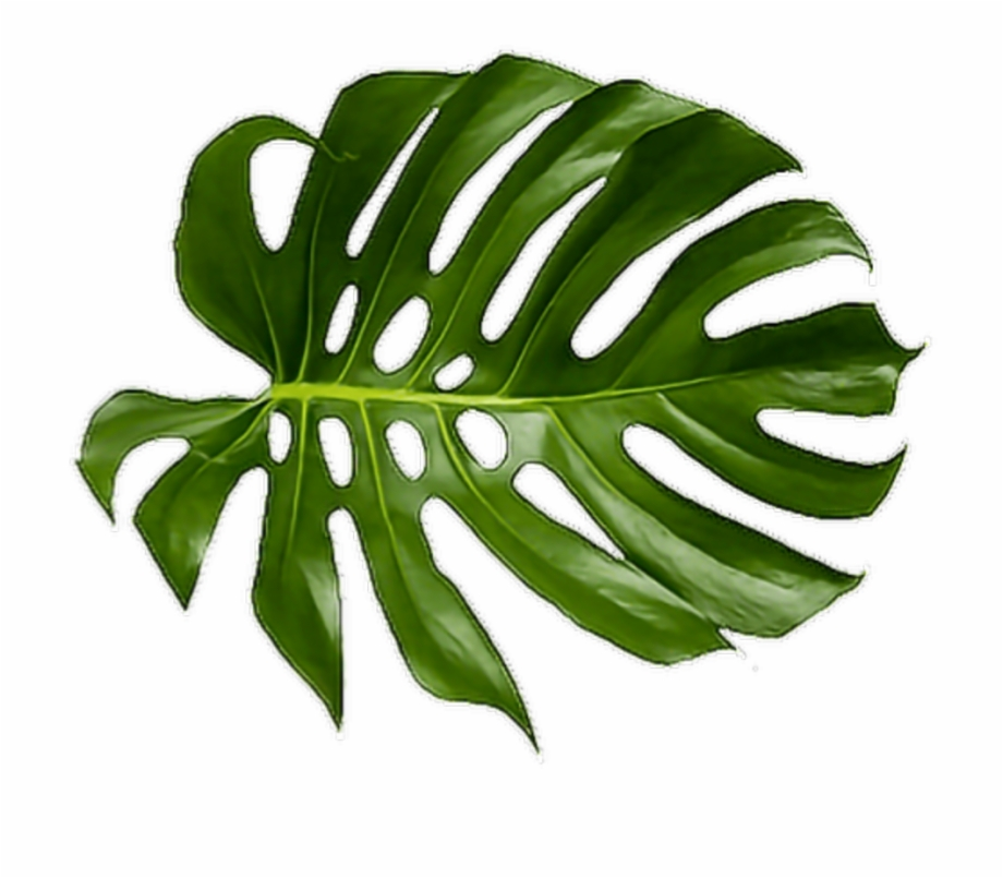Cheese Plant Leaf Tropics Leaves Tropical Palm Clipart.