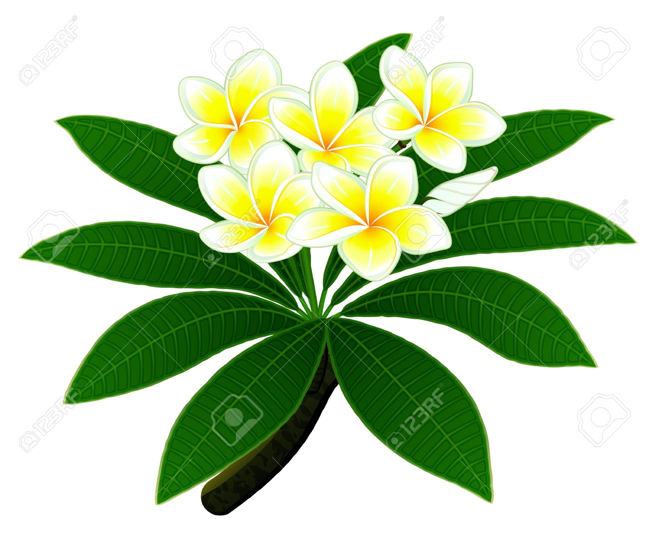 Branch Of A Tropical Tree Plumeria With Group Of Flowers And.