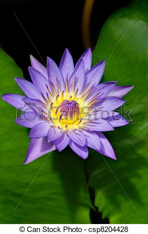 Pictures of Wonderous Water Lily.