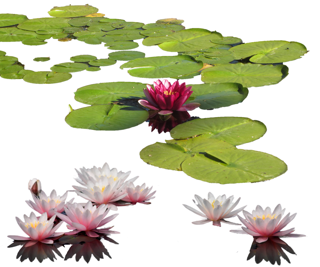Water Lily PNG Transparent Images.
