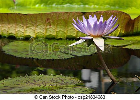 Pictures of Flower of giant water lily in pond.