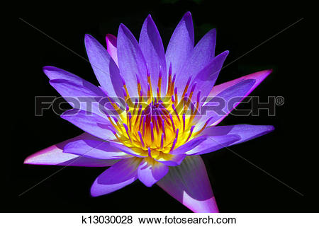 Pictures of Tropical Water Lily of Hawaii k13030028.