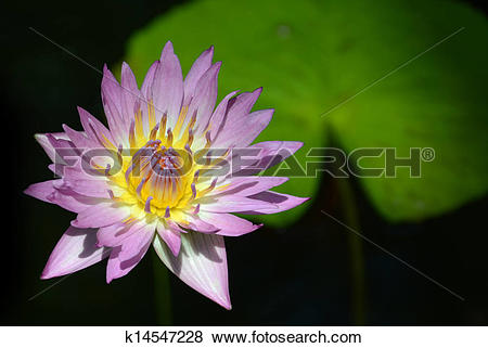 Pictures of tropical water lily and lily pad k14547228.