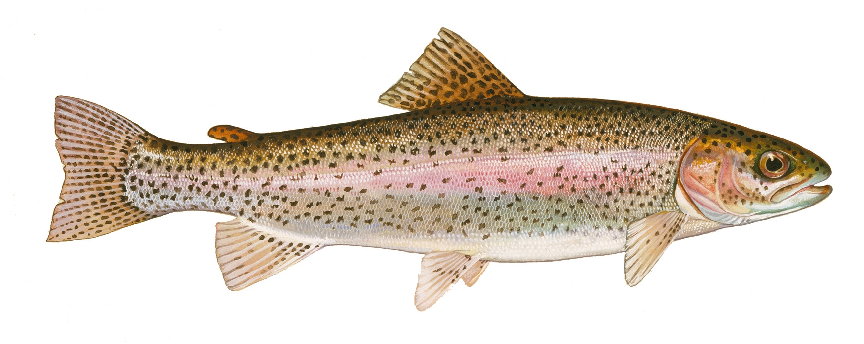 Trout Fish Clipart.