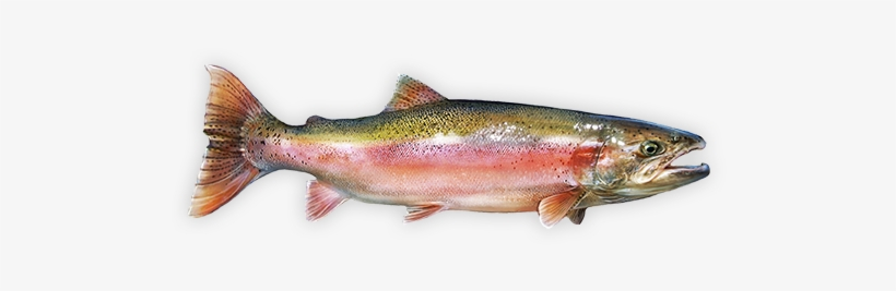 Coastal cutthroat trout PNG Images.