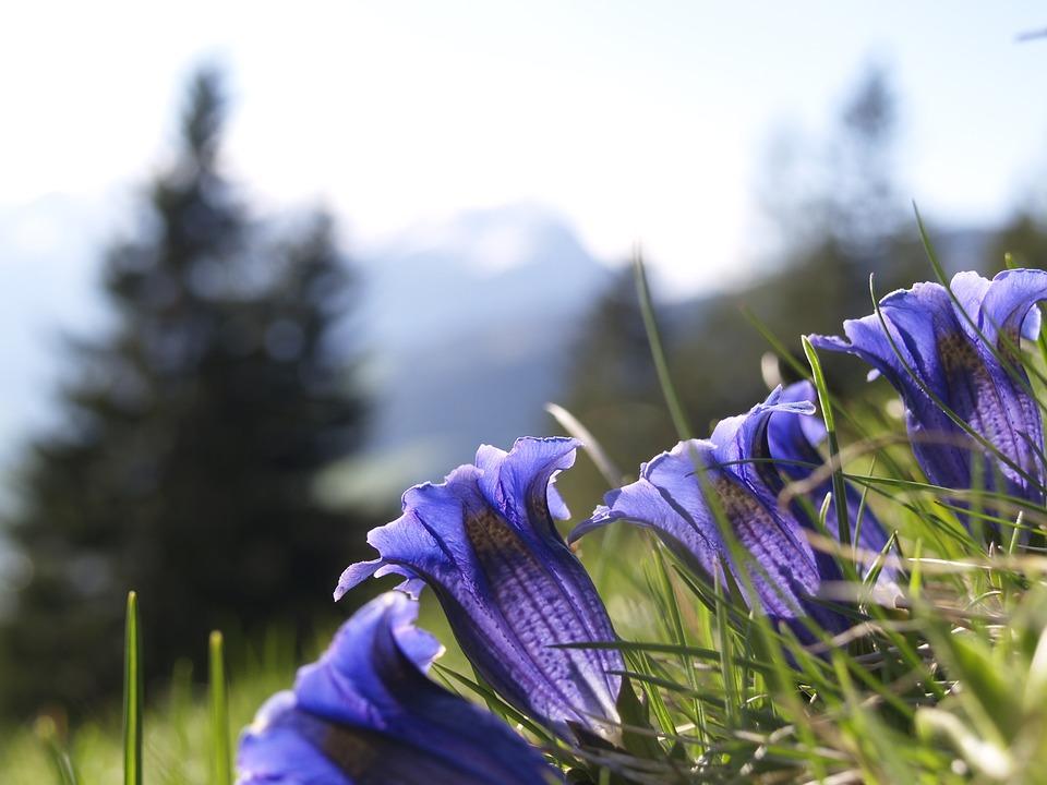 Free photo Blue Flora Alpine Gentian Alpine Flower Flower.
