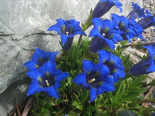 78+ images about Alpine and Meadow Swiss Flowers on Pinterest.