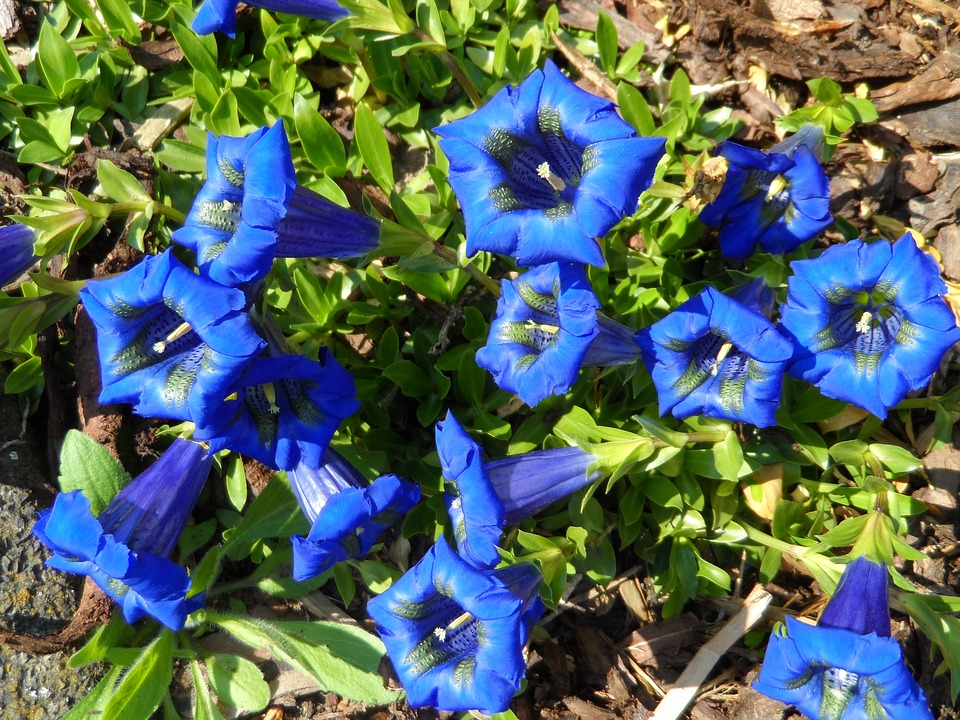 Free photo Blue Gentian Bloom Grow Flowers Inflorescence.