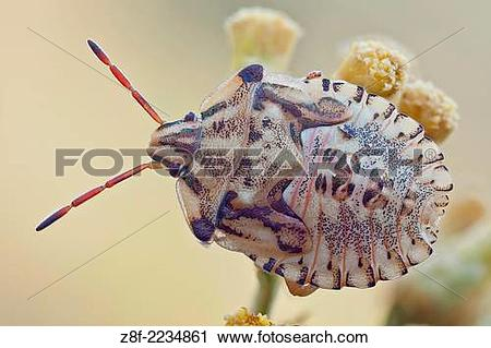 Stock Photography of True bugs have modified piercing and sucking.
