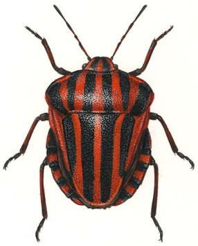 17 Best ideas about Stink Bugs on Pinterest.