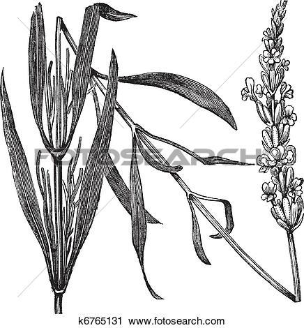 Clipart of Common Lavender or Lavandula angustifolia, vintage.