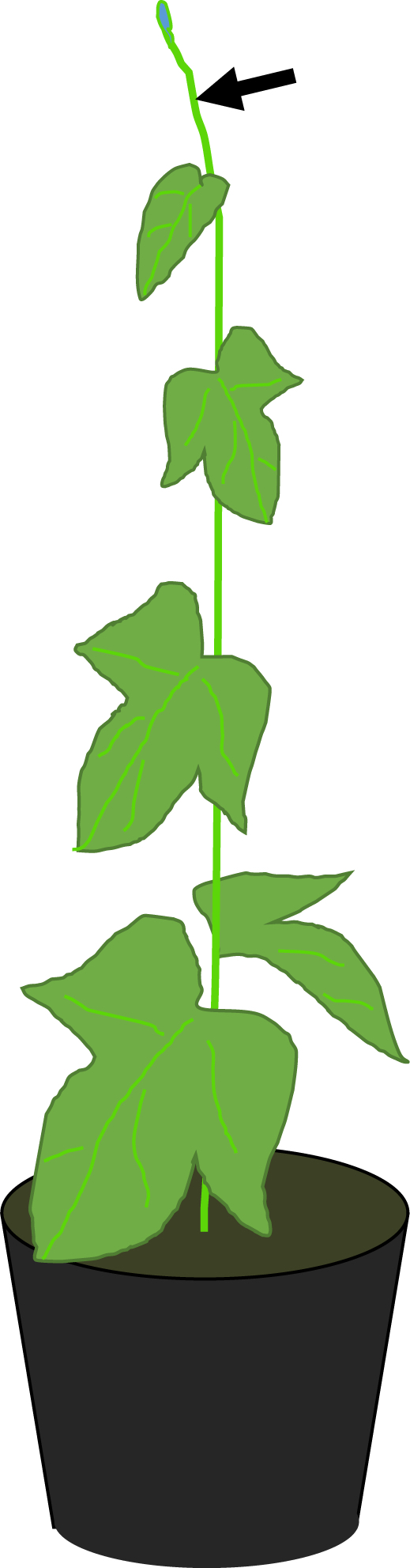 Plant Materials and Growth Conditions of Japanese Morning Glory.