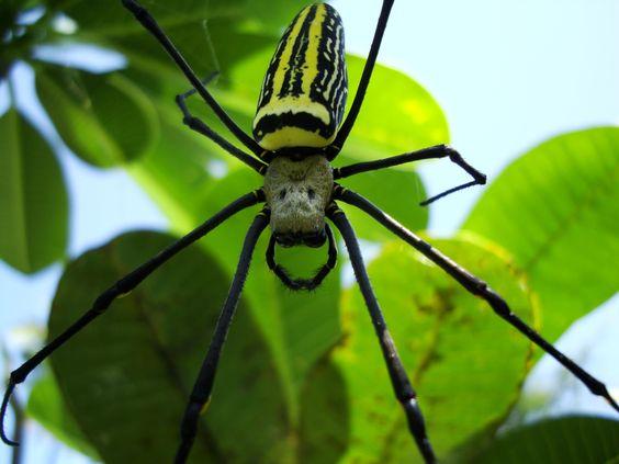 Spider Golden Orb weavers Nephila female Philippines.