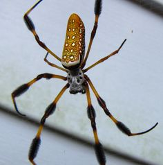The Northern Golden Orb Weaver or Giant Golden Orb Weaver[1] is a.